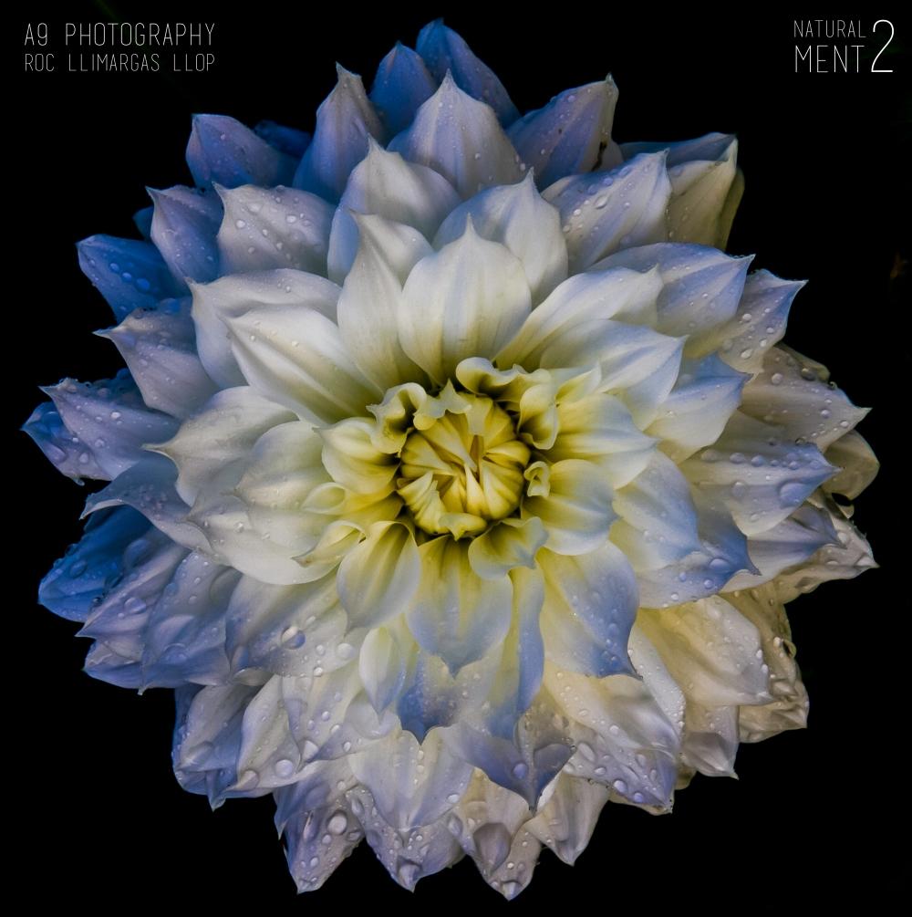 flores -8336